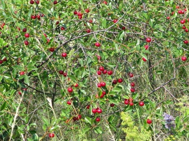 Фотография степной вишни