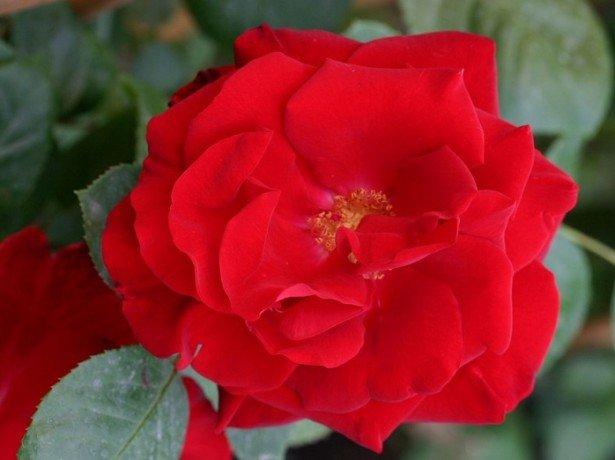 Фотография розы Сантана
