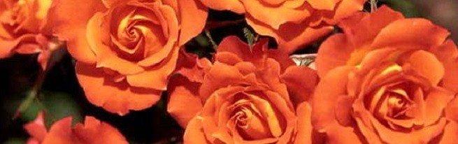 Самые популярные и самые лучшие сорта роз для российского климата