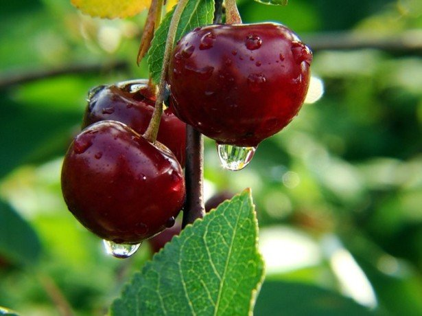Фотография вишни