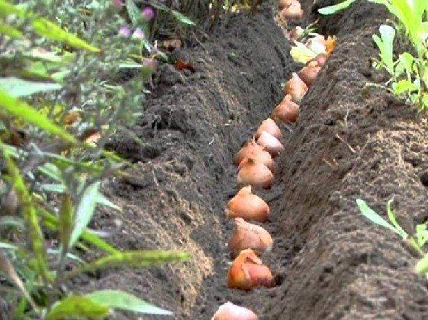 Когда высаживают тюльпаны осенью