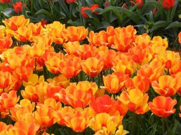 На фото тюльпаны