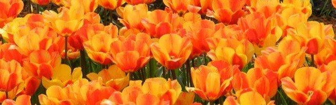 Посадка тюльпанов в корзины и контейнеры – для чего это нужно, и как правильно посадить?
