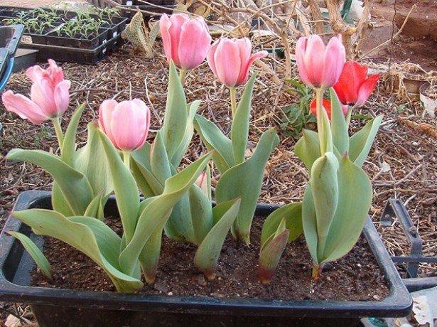 Фото посадки тюльпанов в контейнерах