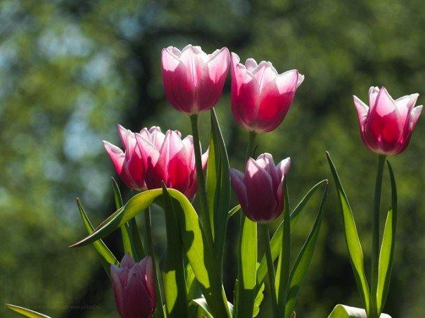 Фотография тюльпанов