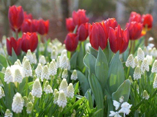 На фото тюльпаны Кулер Кардинал