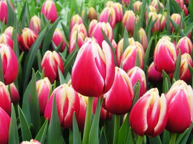 Фотография тюльпанов класса Триумф