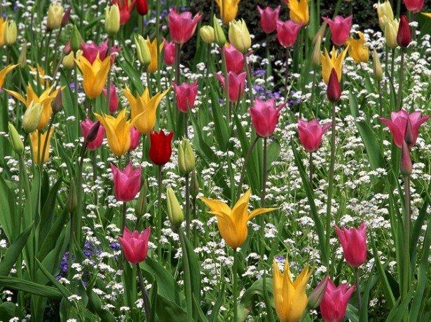 На фото лилиецветные тюльпаны