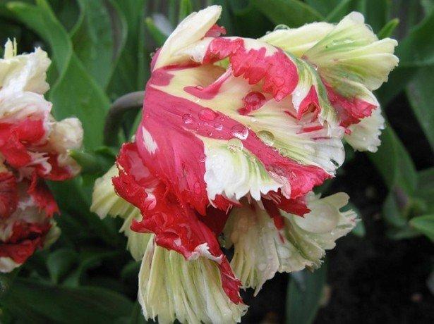 Фото попугайных тюльпанов