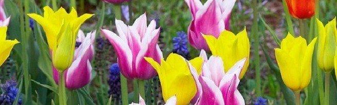 Сорта и разновидности тюльпанов согласно современной классификации