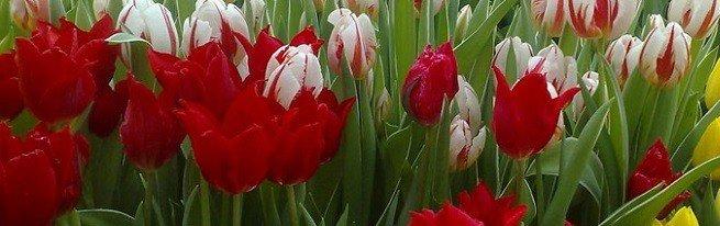 Технология выгонки тюльпанов в домашних условиях – как получать цветы в любое время года