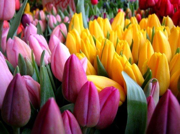 На фотографии тюльпаны