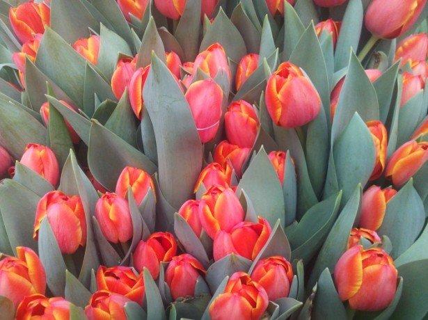 Фото красных тюльпанов