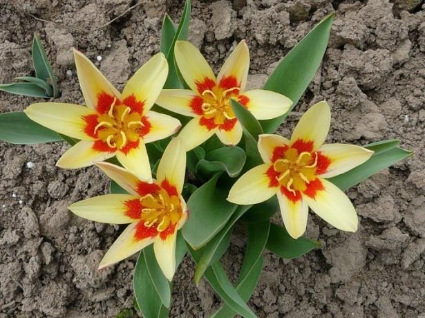 На фото тюльпаны Кауфмана