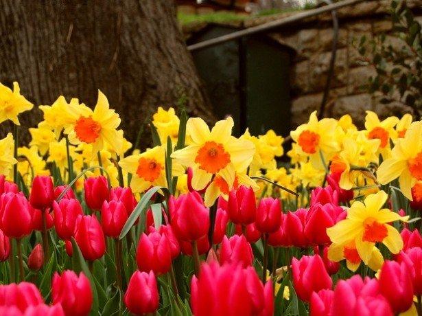На фото тюльпаны и нарциссы