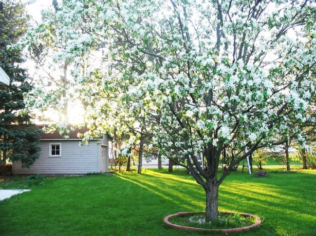 На фото дерево вишни