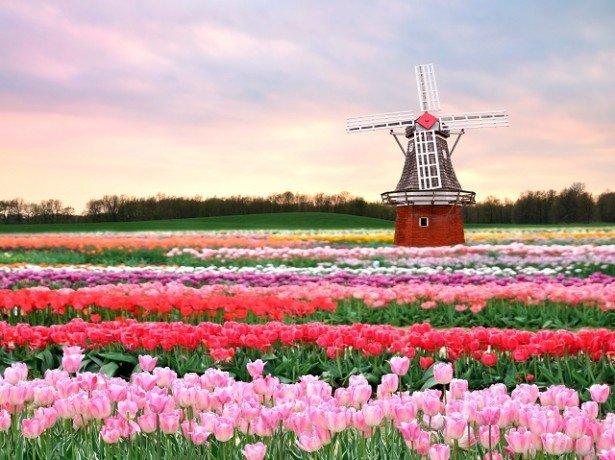 Фотография тюльпанового поля
