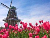 На фотографии тюльпановое поле
