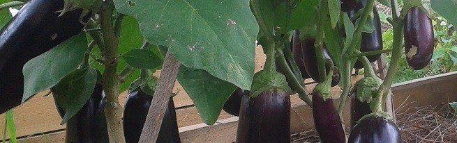 Выращивание баклажанов в теплице удобнее и эффективнее, чем выращивание в огороде