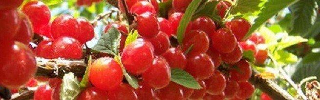 Выращивание вишни обыкновенной и войлочной – как избежать распространенных ошибок