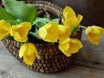 Как сохранить тюльпаны после срезки, чтобы они не увядали как можно дольше