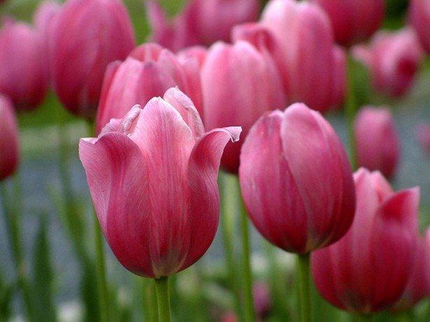 На фото тюльпаны класса Триумф