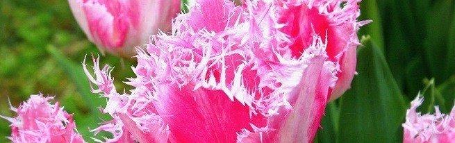 Когда и как высаживать луковицы тюльпанов, нужно ли их выкапывать, и где потом хранить?