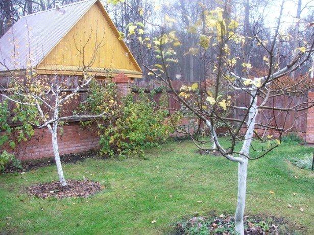 На фотографии деревья вишни