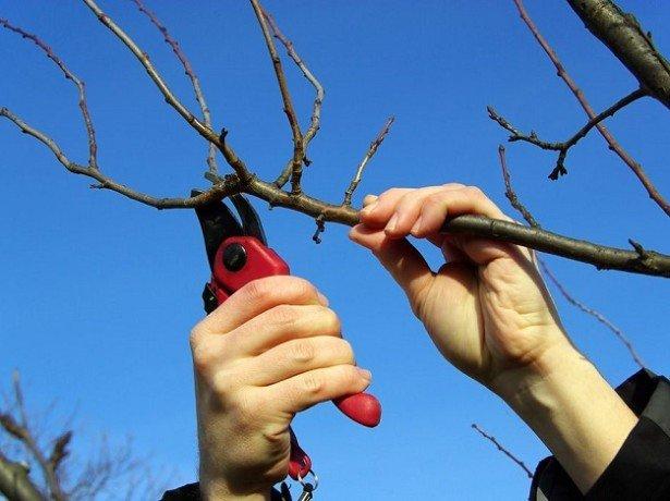 Фотография обрезки веток вишни