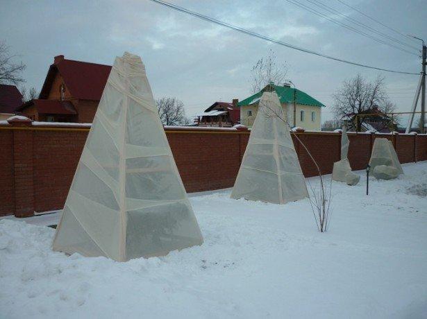 На фото вишни, укрытые на зиму