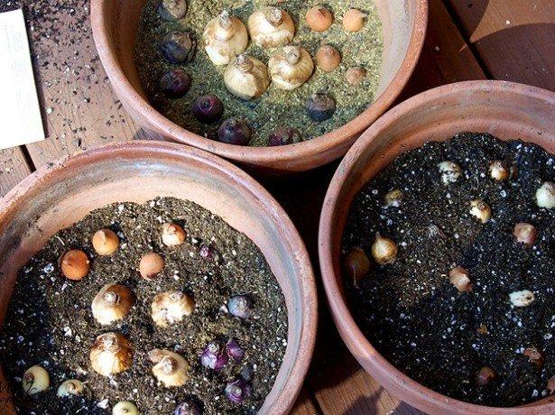 Фото посадки тюльпанов в горшки