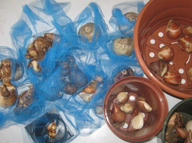 На фото луковицы и горшки для тюльпанов