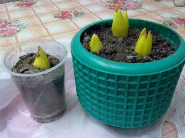 Фотография тюльпанов в горшке