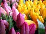Выгонка тюльпанов к 8 Марта – выбор сортов, посадка луковиц и правила выгонки