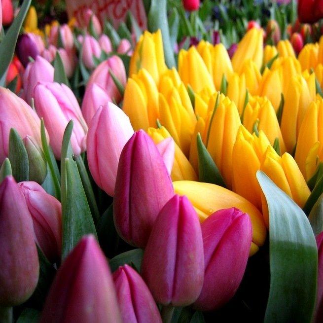 vygonka-tyulpanov-k-8-marta-1 Выращивание тюльпанов к 8 марта
