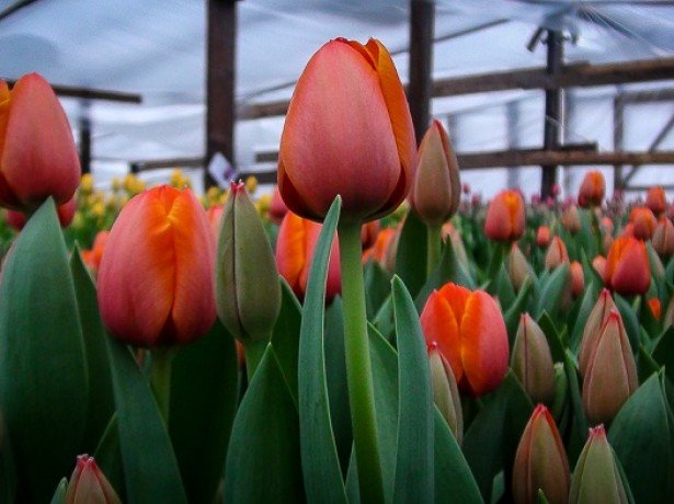 На фото выгонка тюльпанов