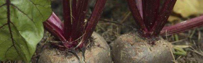Выращивание столовой свеклы от посева семян до уборки урожая