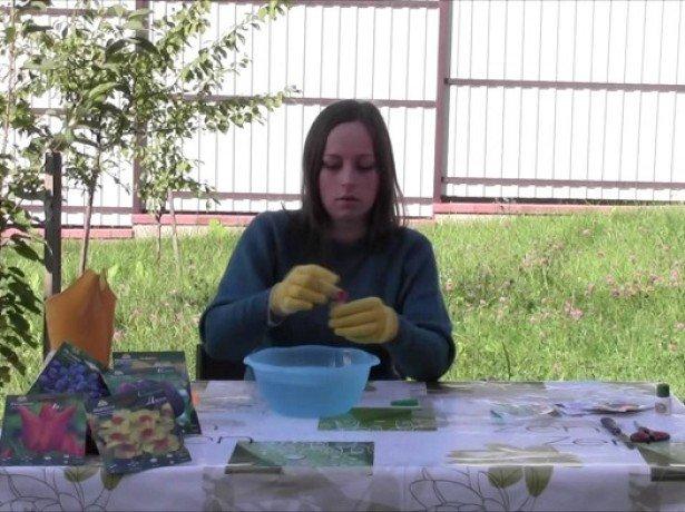 На фотографии подготовка луковиц тюльпанов