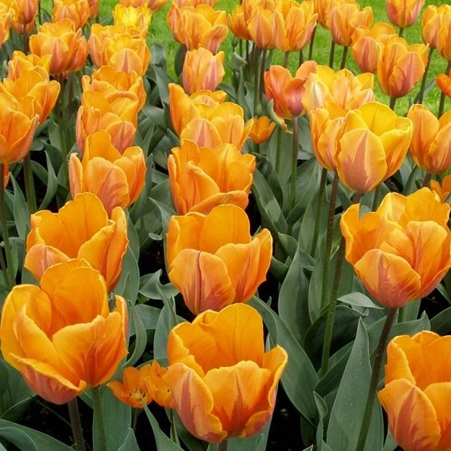 Как правильно выращивать тюльпаны в саду