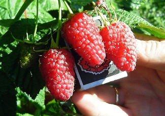 На фото представлены спелые ягоды малины Патриции, zoo-sad.inforico.com.ua