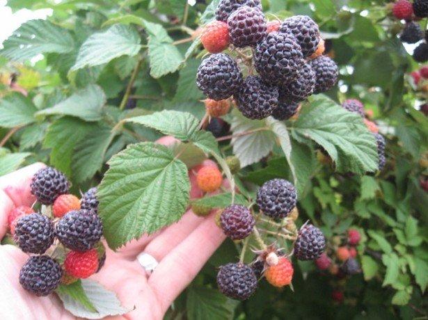 Как выращивается малина сорта Кумберленд?