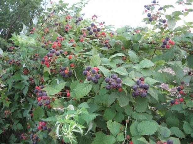 Черная малина — уход минимальный, урожай богатый