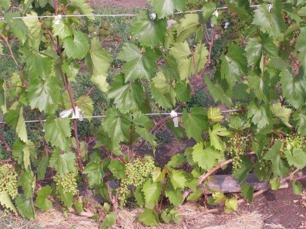 Подвязка винограда сухая и зеленая — в чем разница?
