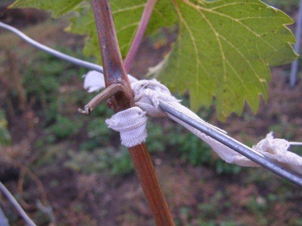 Как подвязывать виноград наиболее оптимально?