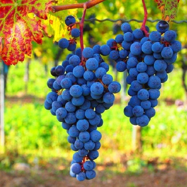 На фото виноград