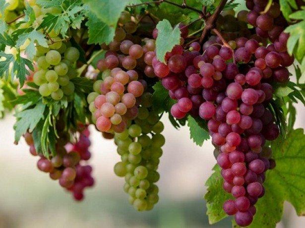 Траншеи или насыпные гряды — как правильно сажать виноград?