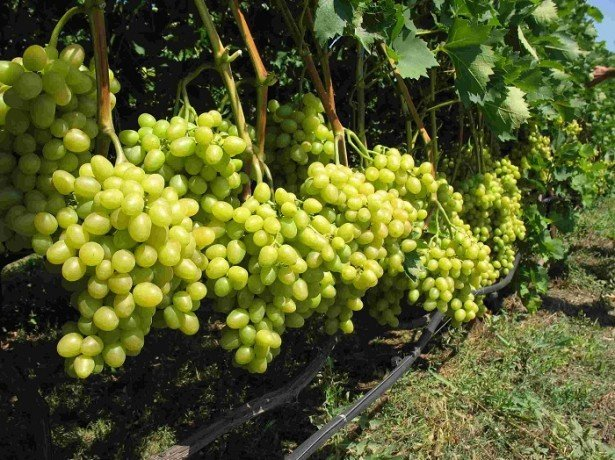 Насколько оправдано выращивание винограда из семян?