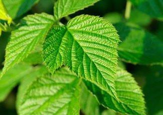 Фото листа малины