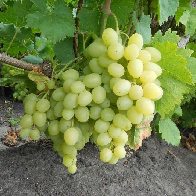 Фотография винограда
