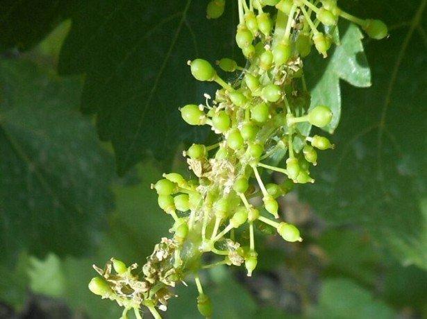 Основные вредители винограда и способы их уничтожения